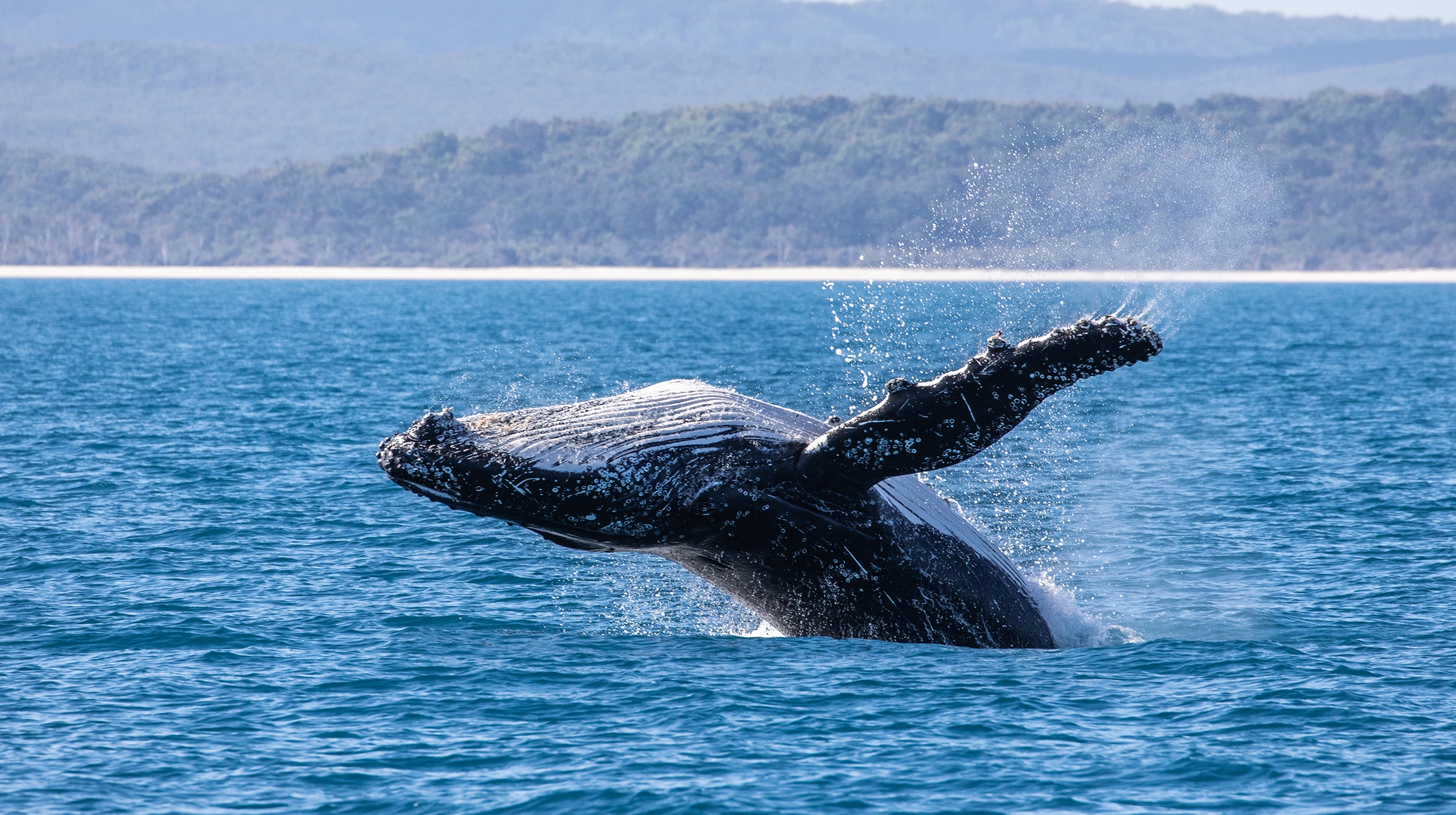 Whale-watching fees typically include a donation to a conservation fund, but it's worth doing your research before booking a tour. Some outfits also contribute to scientific research: crews and guests add ID photos to a database, expanding knowledge of whale populations and their movements. Image: Getty